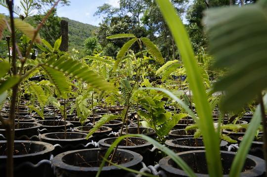 Iracambi native seedlings