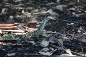 A Gould's Monitor found on site
