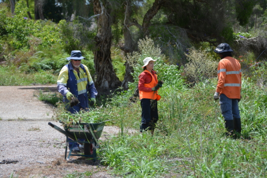 Removing invasive weeds at Baigup Wetlands