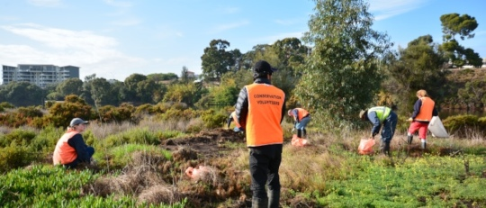 Removing invasive weeds from Maylands Samphires