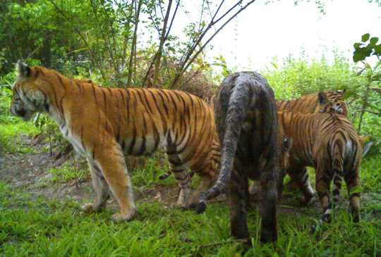 Kaziranga tigers caught on camera trap