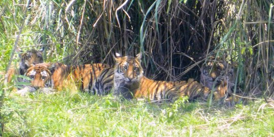 The Kaziranga tiger family