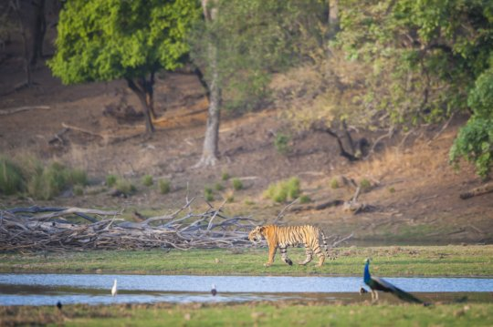 Your support helps keep tigers wild and free