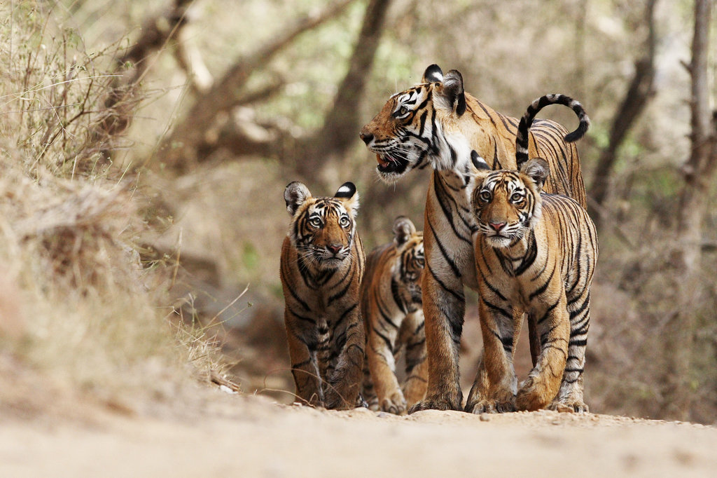 Help save tigers in the wild