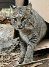 Cat Ballou the Bobcat
