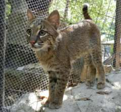 Savannah the Bobcat as Youngster