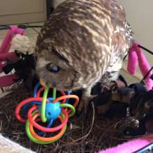 Tappy the barred owl playing with a toy