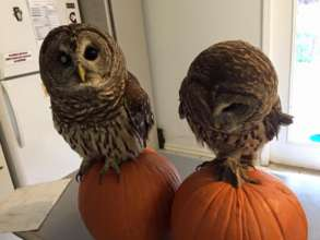 Tappy & Gazer the barred owls standing on pumpkins
