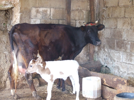 Plan Moo starts and our first calf