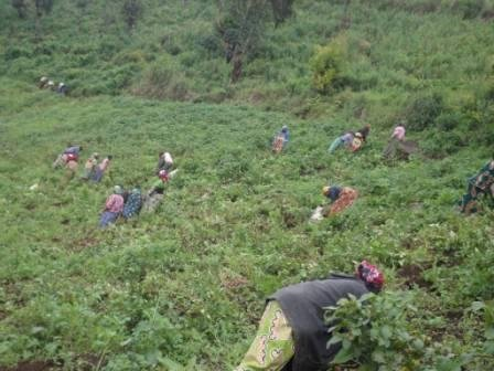 Harvesting of potatoes by the beneficiaries