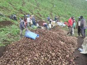 Beneficiaries are sorting potatoes