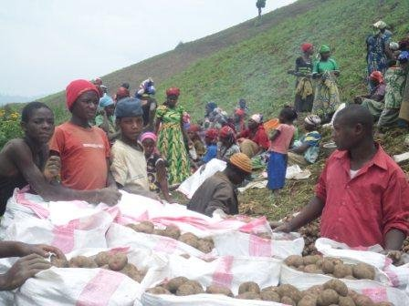 Potatoes being packed