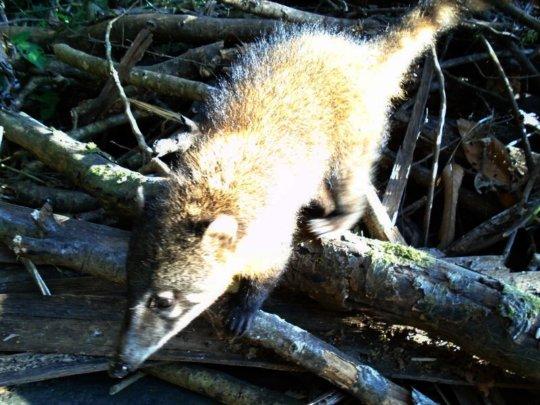 Look familiar?  Bolivian jungle possum