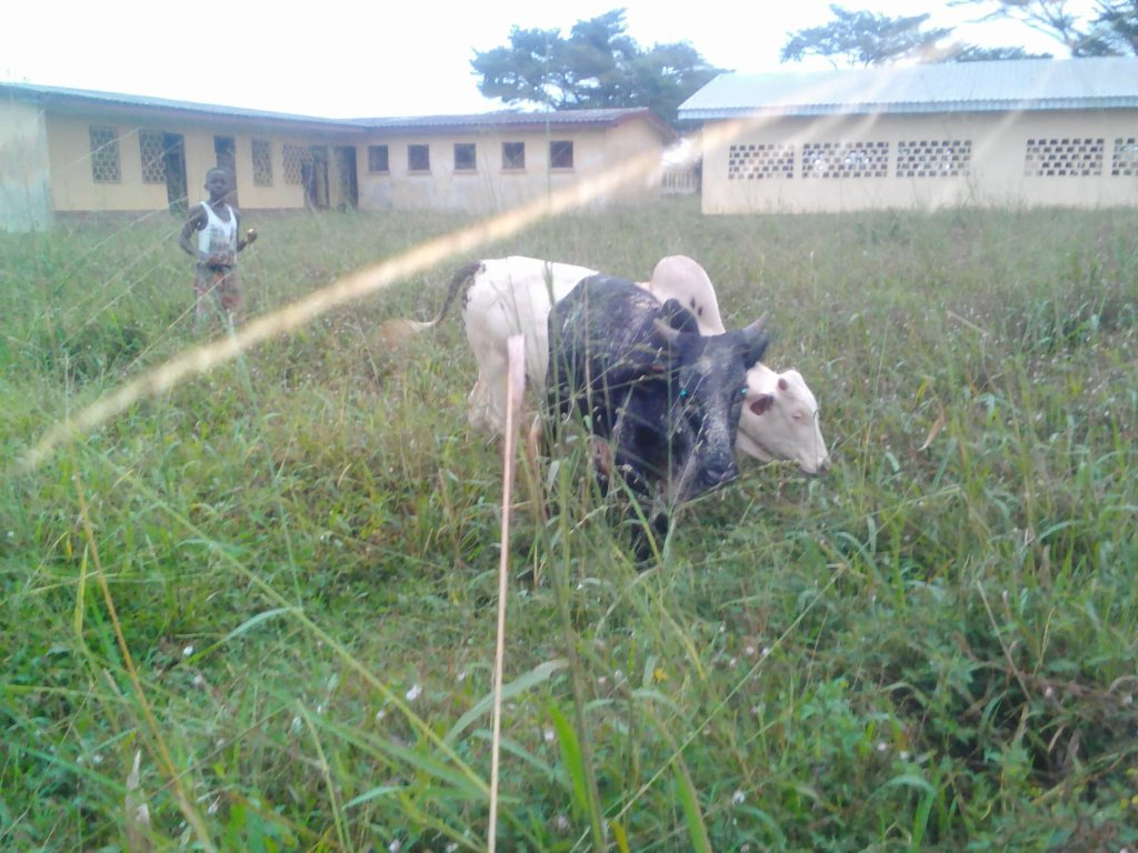 some of the cows of Mah Di