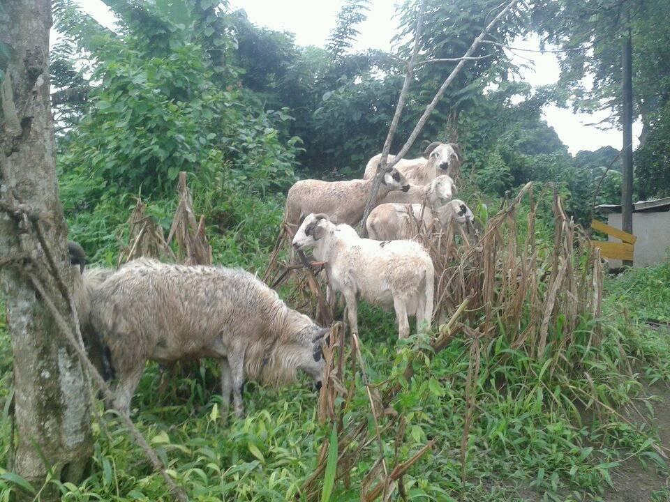 and sheep too!