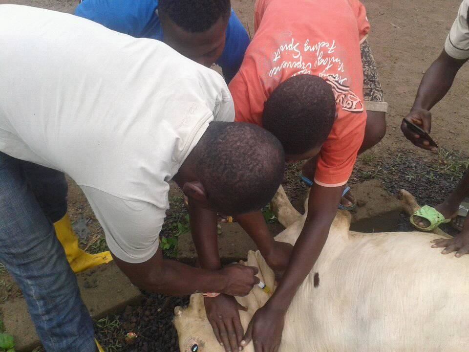 Learning how to vaccinate the cows