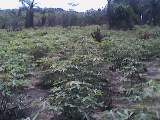 Cassava Growth