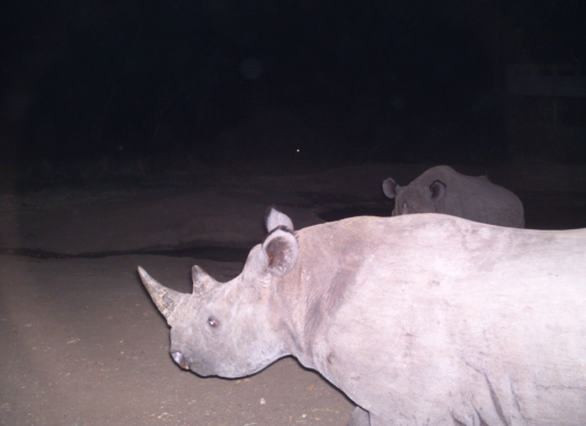 Black rhinos captured by camera trap