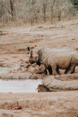 Black rhinos are observed at a watering hole