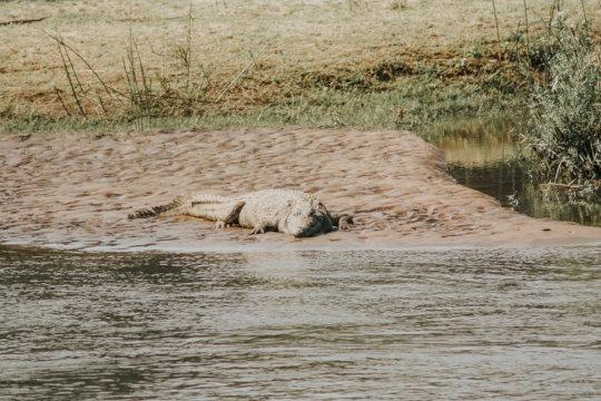 A crocodile observed on a river bank
