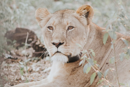 A young lion at Majete Reserve
