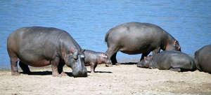 Hippos frequent Shire River that runs thru park