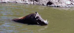 A warthog cools off.