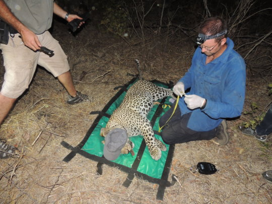 A leopard is captured for radio collaring