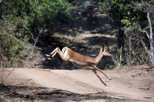 A young impala dashes across the road