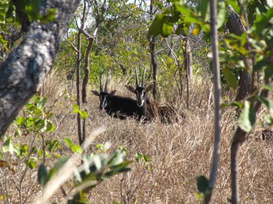 Two sables in the bush