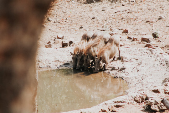 A family of warthogs drinks from a watering hole