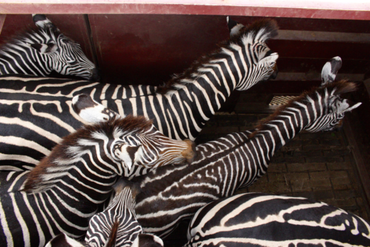Zebras are herded into shipping containers