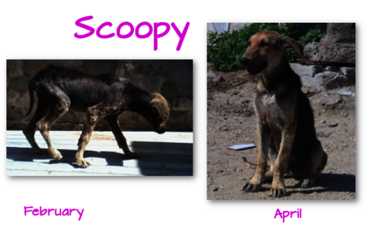 Treated for mange, April clinic, before-after