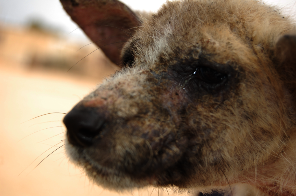 Dog with mange treated by HAH with AKI funds