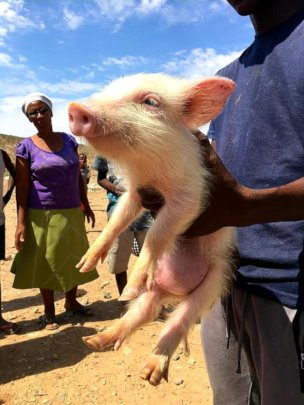 Pinky the pig-had a hernia!