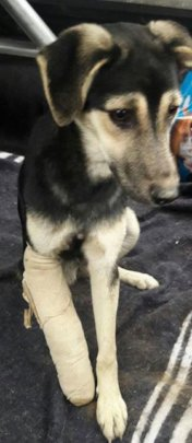 Nica, just after surgery on her leg & spay