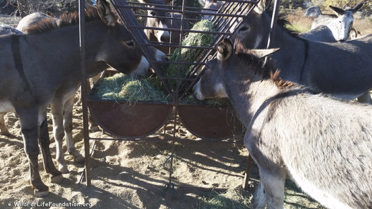 Rescued burros feast on nutritious hay