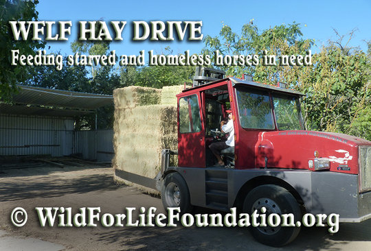 Lifesaving Hay for starved and homeless horses