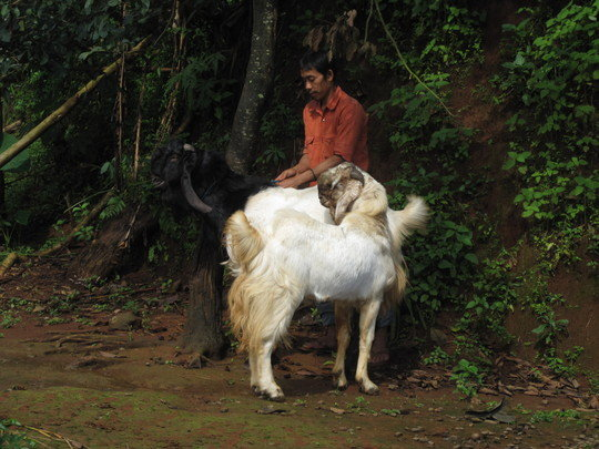 Etawa Goats Are Thriving in Kunir