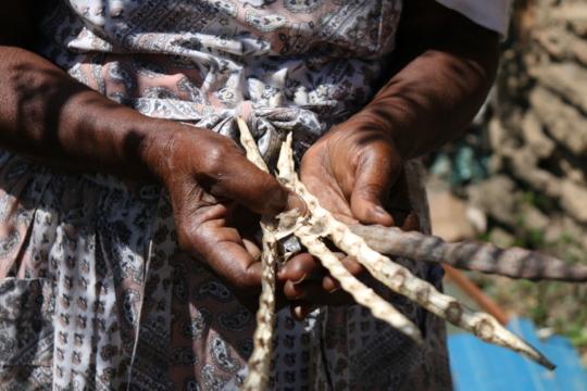 A woman harvesting moringa seeds