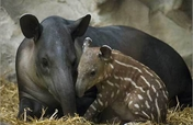 Savegre Tapir Project at Rafiki