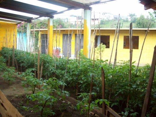 Plan Huerto - tomatoes
