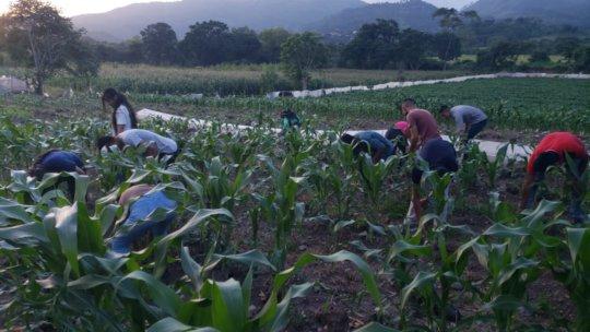 Sweet corn trials for export in Honduras