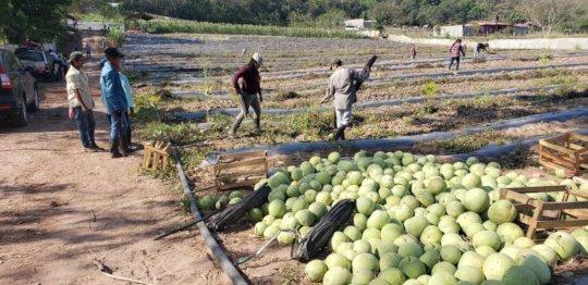 Watermelon trials complete in Honduras