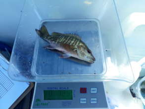 measuring the catch