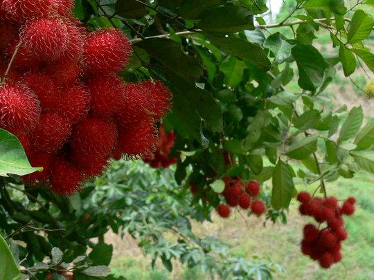 Rambutan or Mamon Chino