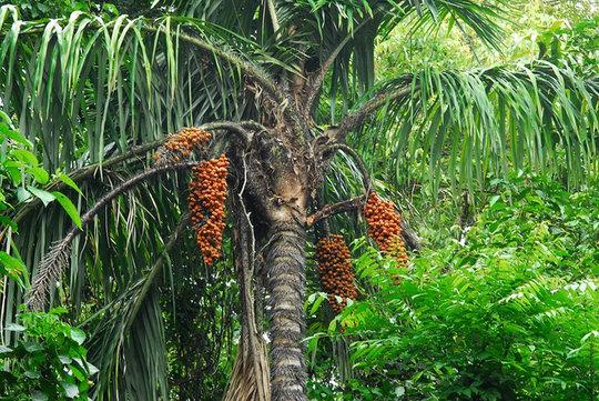 Peach Palm or Pejibaye on the tree