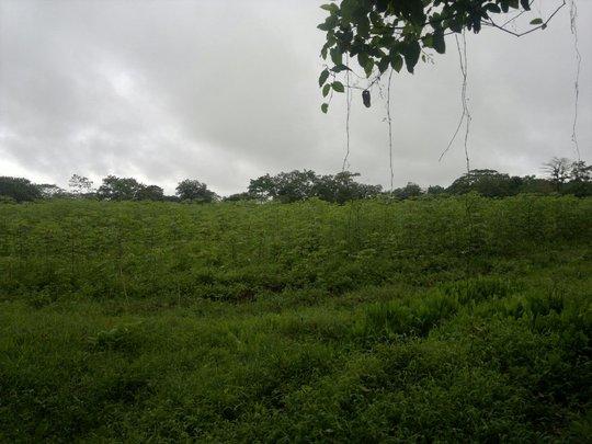 Cassava (Yuca) farming