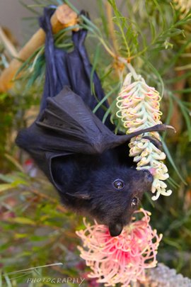 Bat enjoying nectar: photo credit Sarah Thorpe.