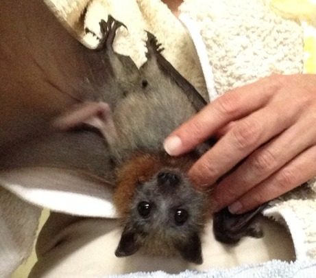 baby grey headed flying fox